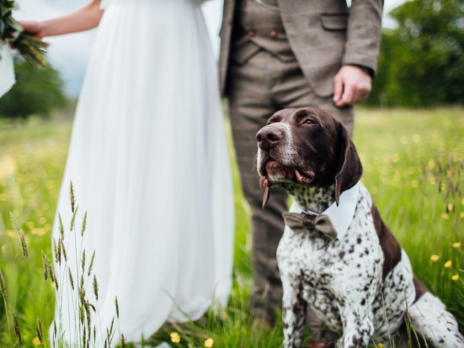 Dog in bowtie at wedding